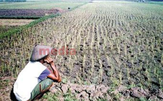 Gagal Panen Total, 2 Kelompok Tani Desa Kuta Rugi Rp300 juta