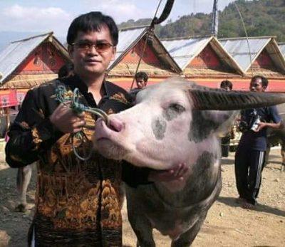 Yusuf Pongsapan Berfoto dengan Kerbau Endemik Toraja (Tedong Bonga). Kerbau Termahal Di Dunia