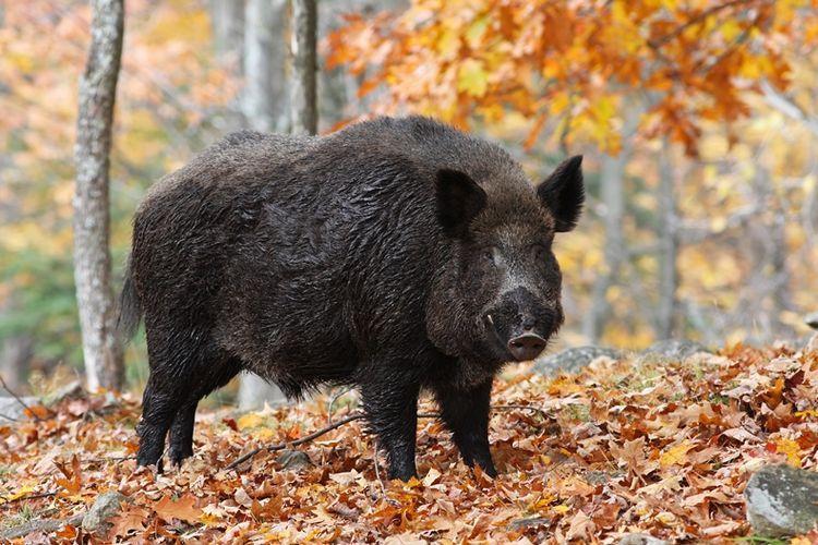 Di Seruduki Babi Hutan, Dua Warga Kuta Pemalang Terluka